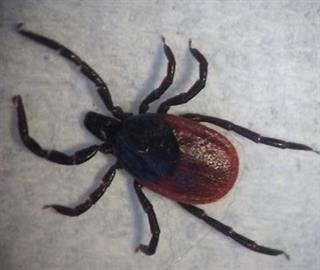 Adult female, Ixodes species tick (can transmit Lyme disease)