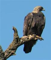 Golden Eagle at Lynch Canyon